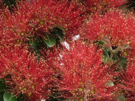 Pohutukawa Tree © Treetop Media Ltd.