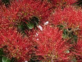 Pohutukawa Tree © Treetop Media Ltd.