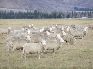 Tiere:  Merino Schafe (High Country Animals)