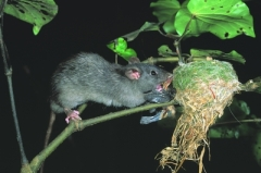 rat in fantail nest_DOC, D Mudge (400)