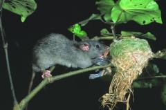 rat in fantail nest_DOC, D Mudge (400)