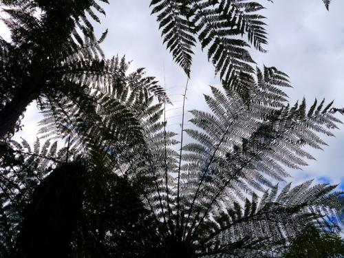 Baumfarne im himmel