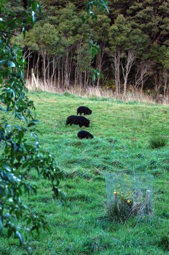 black-pigs