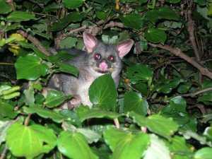 possum im kawakawa baum