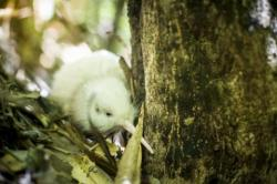 new white kiwi in bush