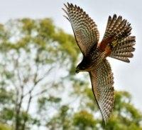 falcon-attack-223