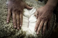 merino-is-the-best-wool-in-the-world1