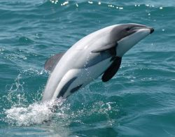 hector-dolphin