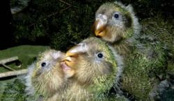 kakapo-chicks2