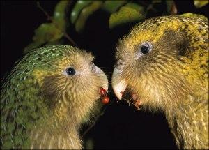 kakapo-pair