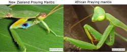 difference_between_praying_mantis_in_nz